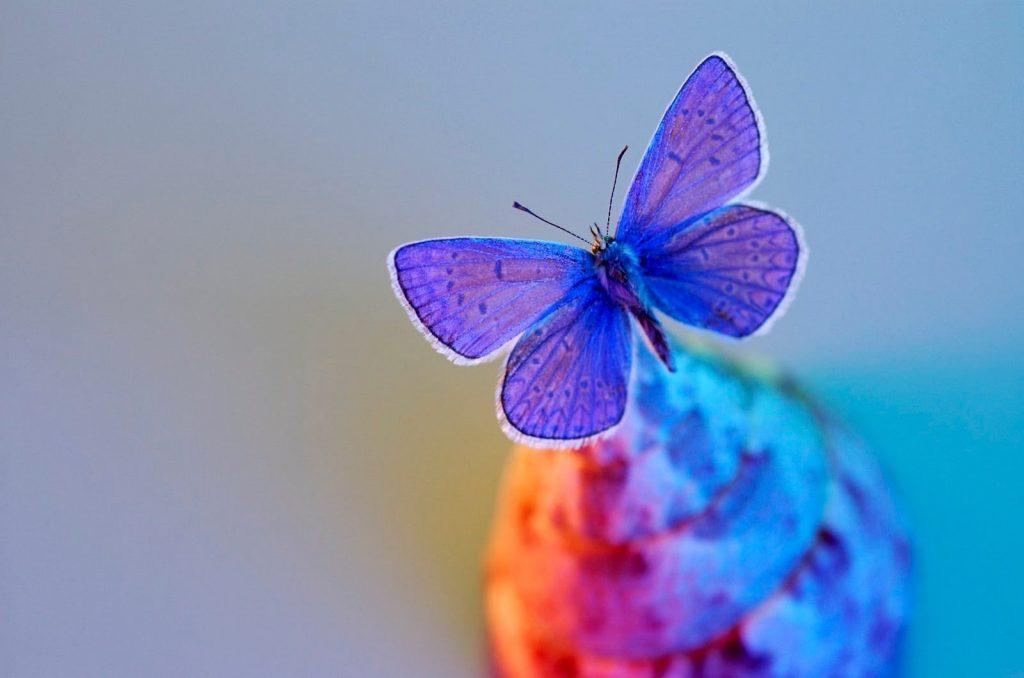mavi kelebek resmi
